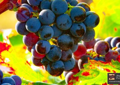 vinumtempore-Galerie-Trauben-3
